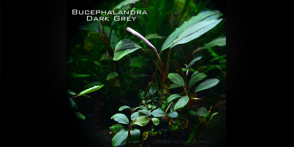 Буцефаландра Bucephalandra sp. Dark Grey