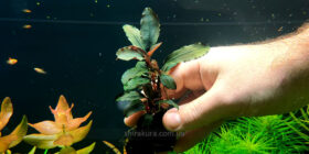 Буцефаландра Bucephalandra sp. Red Ruby Hulu Kapuas